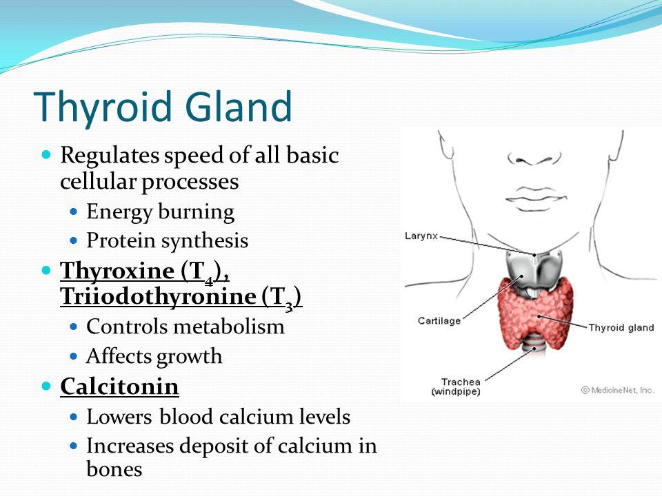 Test The Endocrine System Flashcards  Quizlet