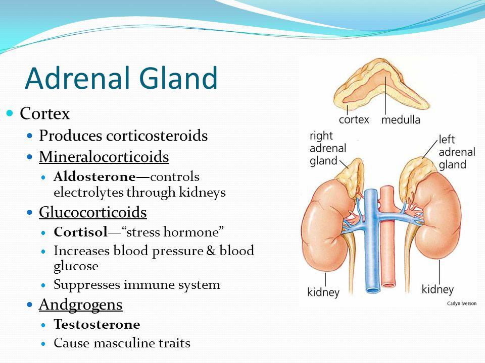 Adrenal Gland Cortex Produces corticosteroids Mineralocorticoids