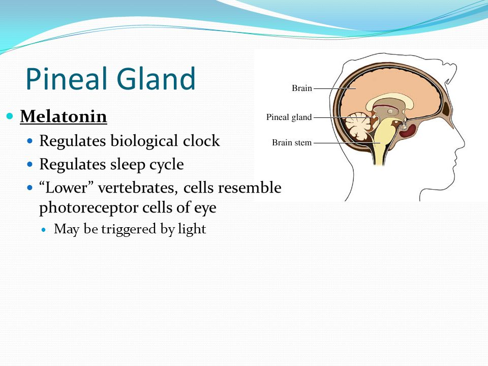 Pineal Gland Melatonin Regulates biological clock