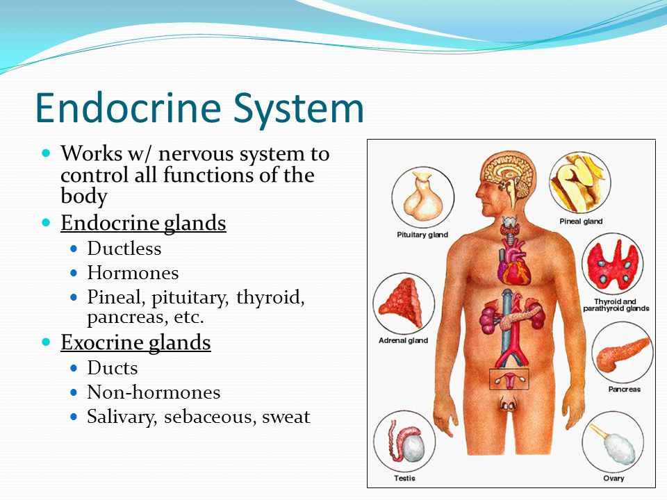 Endocrine System Works w/ nervous system to control all functions of the body. Endocrine glands. Ductless.