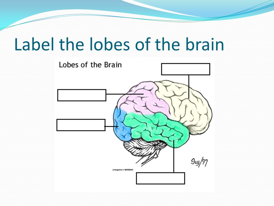 Label the lobes of the brain