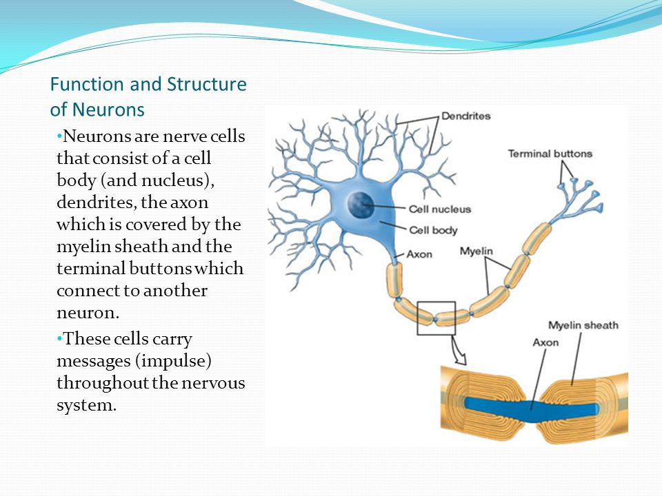 Function and Structure of Neurons