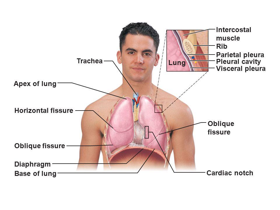 Intercostal muscle. Rib. Parietal pleura. Trachea. Lung. Pleural cavity. Visceral pleura. Apex of lung.