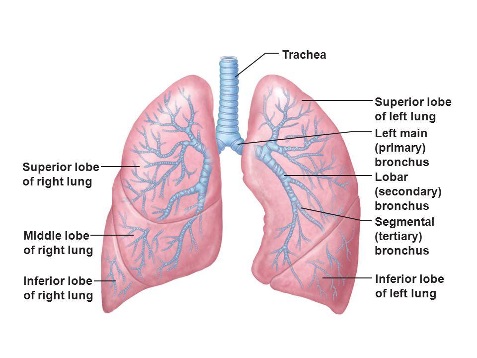 Trachea Superior lobe. of left lung. Left main. (primary) bronchus. Superior lobe. of right lung.