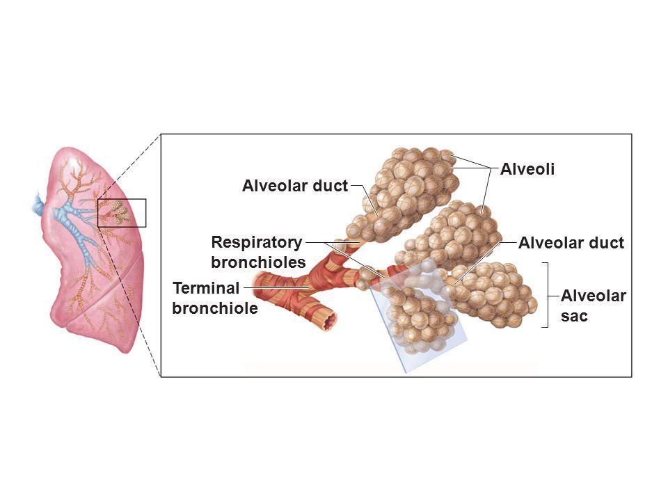 Alveoli Alveolar duct Respiratory bronchioles Alveolar duct Terminal bronchiole Alveolar sac