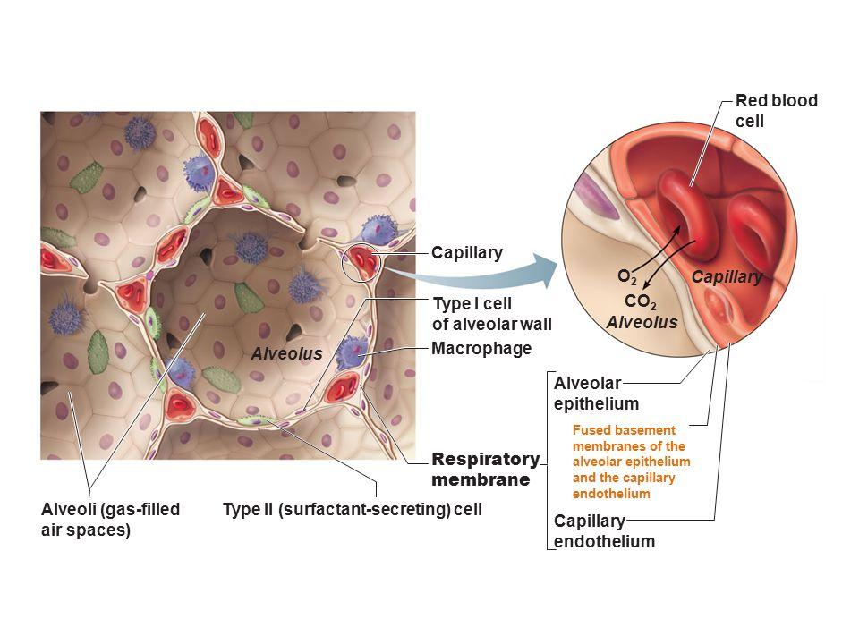 Type II (surfactant-secreting) cell Capillary endothelium