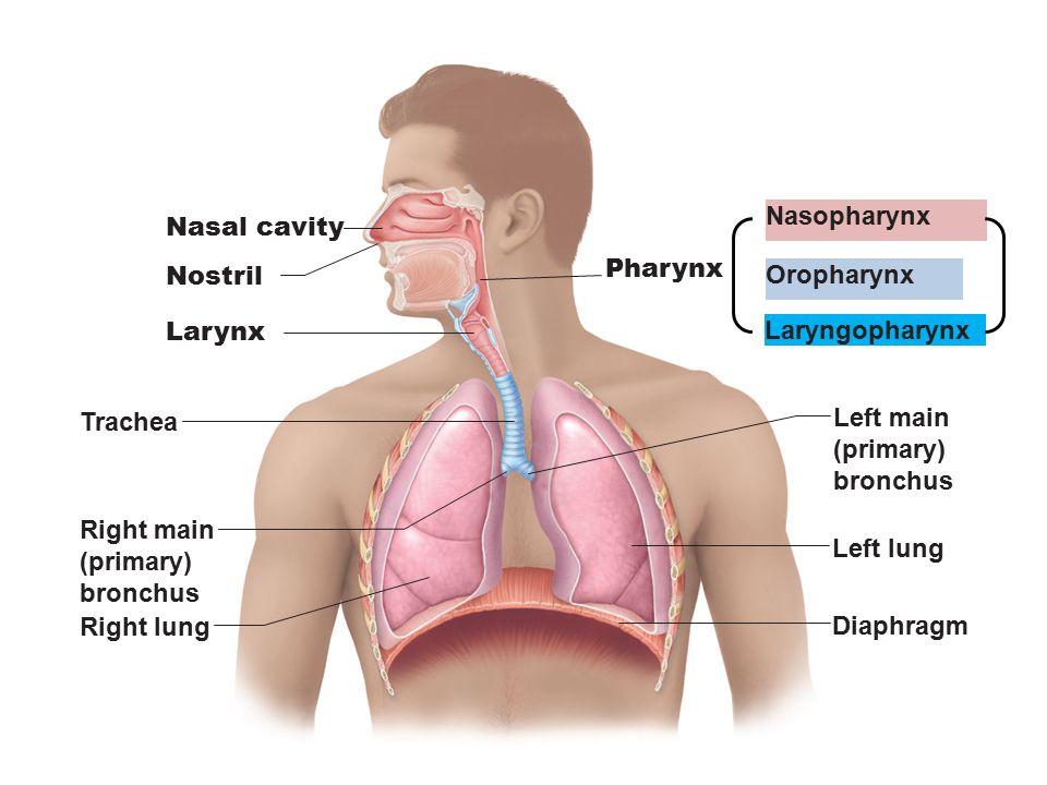 Nasopharynx Nasal cavity. Pharynx. Nostril. Oropharynx. Larynx. Laryngopharynx. Trachea. Left main.
