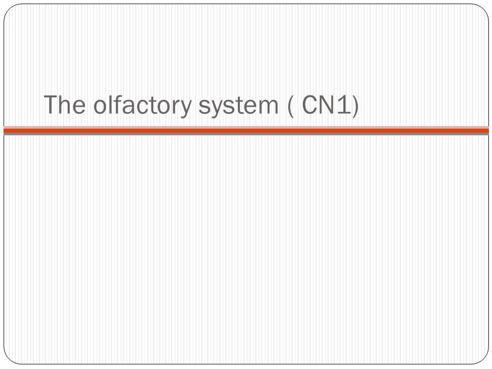 The olfactory system ( CN1)