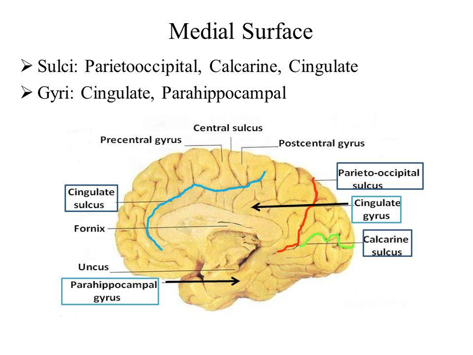 Medial Surface Sulci: Parietooccipital, Calcarine, Cingulate
