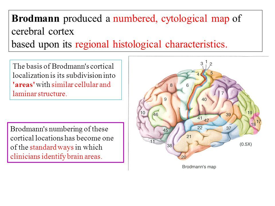 Brodmann produced a numbered, cytological map of cerebral cortex