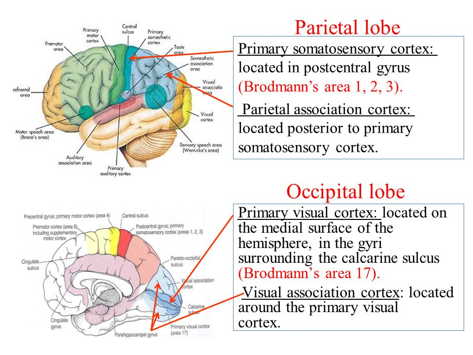 Parietal lobe Occipital lobe