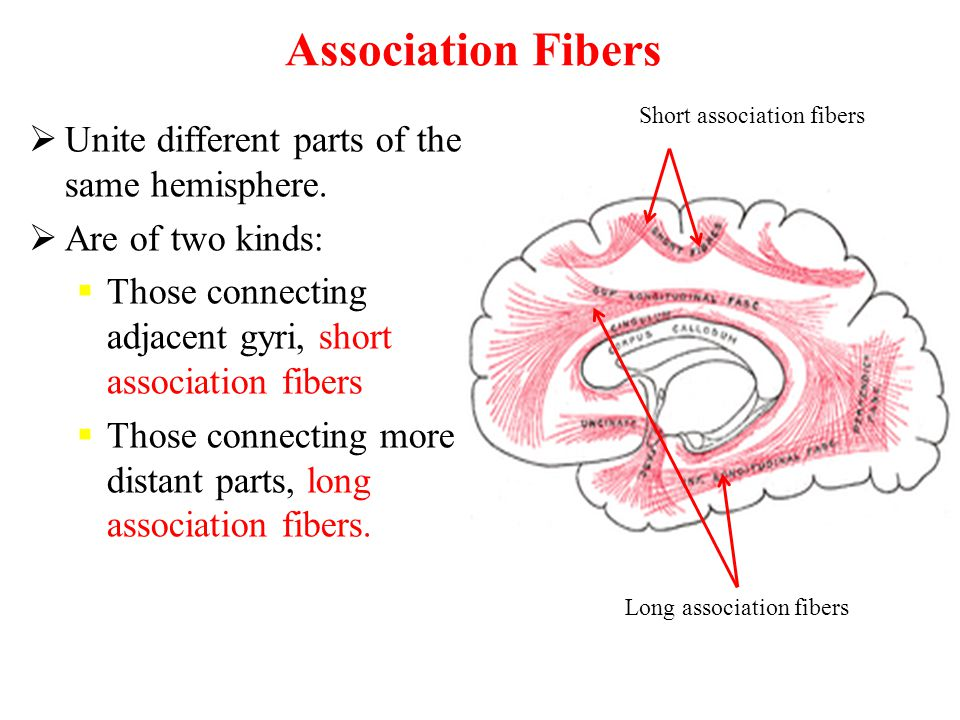 Association Fibers Unite different parts of the same hemisphere.