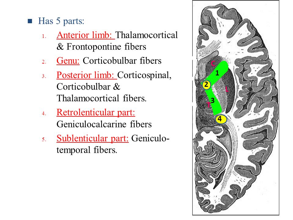 Anterior limb: Thalamocortical & Frontopontine fibers