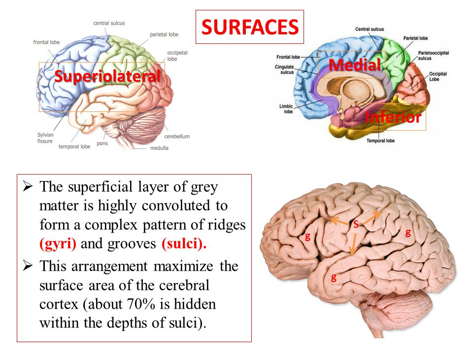 SURFACES Medial Superiolateral Inferior