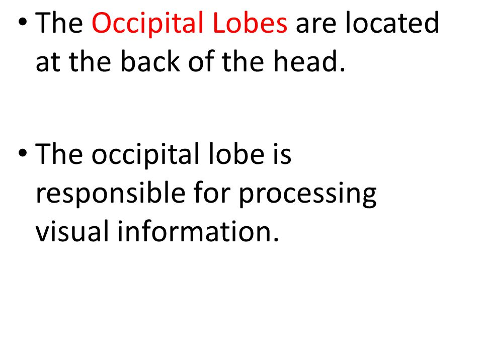 The Occipital Lobes are located at the back of the head.