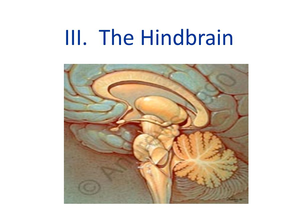 III. The Hindbrain