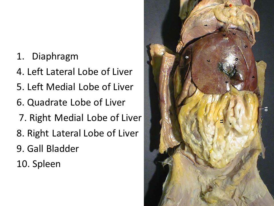 Diaphragm 4. Left Lateral Lobe of Liver. 5. Left Medial Lobe of Liver. 6. Quadrate Lobe of Liver.