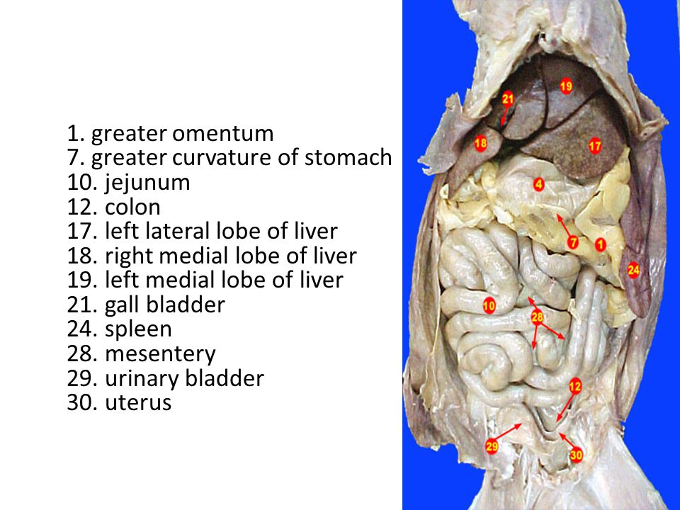 1. greater omentum 7. greater curvature of stomach 10. jejunum 12