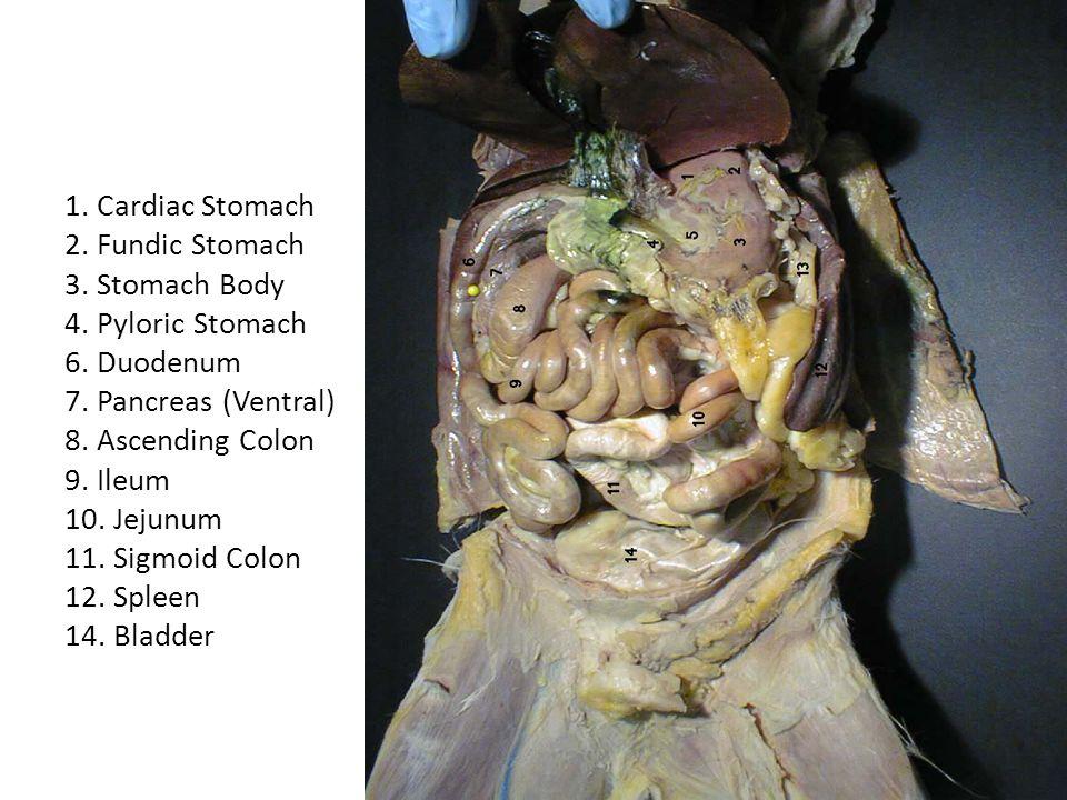 1. Cardiac Stomach 2. Fundic Stomach 3. Stomach Body 4