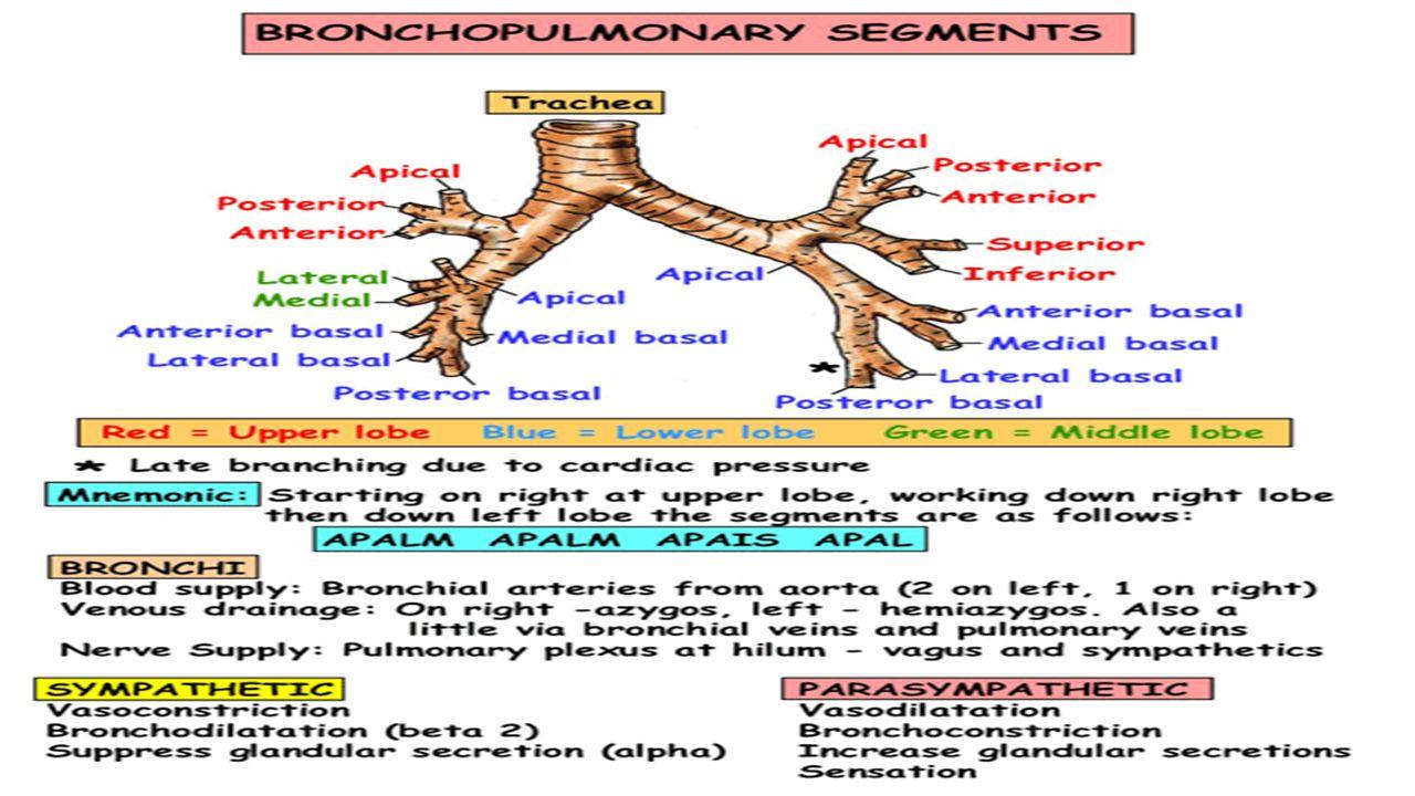 The bronchopulmonary segments are