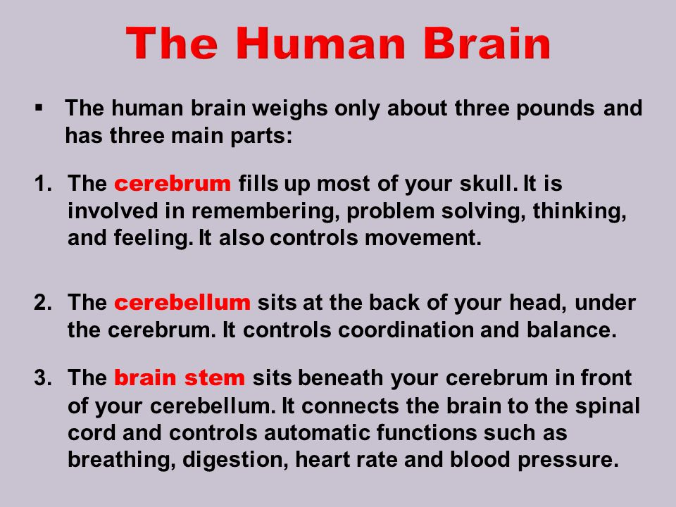 The Human Brain The human brain weighs only about three pounds and has three main parts: