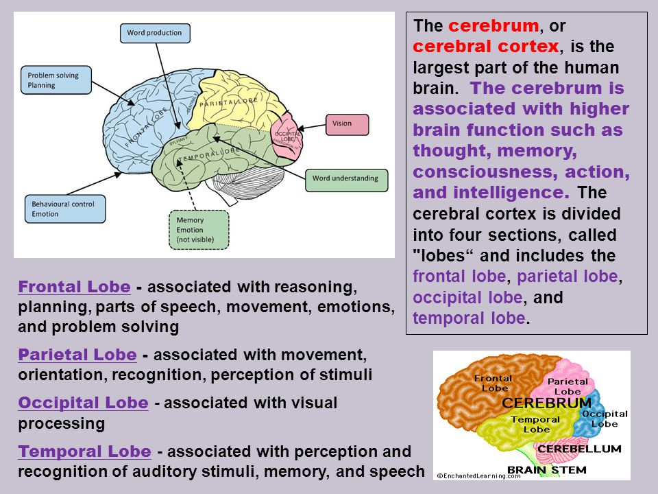 The cerebrum, or cerebral cortex, is the largest part of the human brain. The cerebrum is associated with higher brain function such as thought, memory, consciousness, action, and intelligence. The cerebral cortex is divided into four sections, called lobes and includes the frontal lobe, parietal lobe, occipital lobe, and temporal lobe.