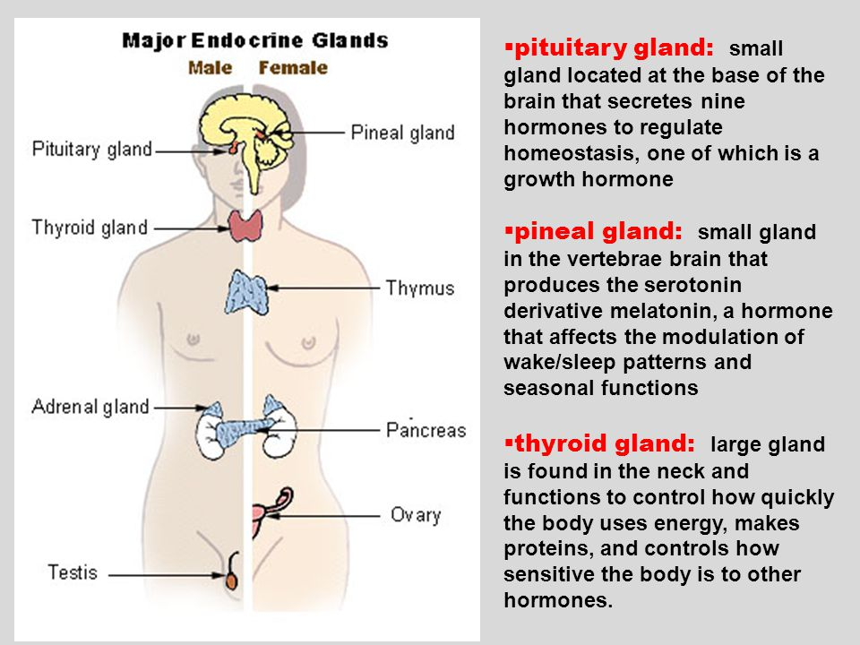 pituitary gland: small gland located at the base of the brain that secretes nine hormones to regulate homeostasis, one of which is a growth hormone