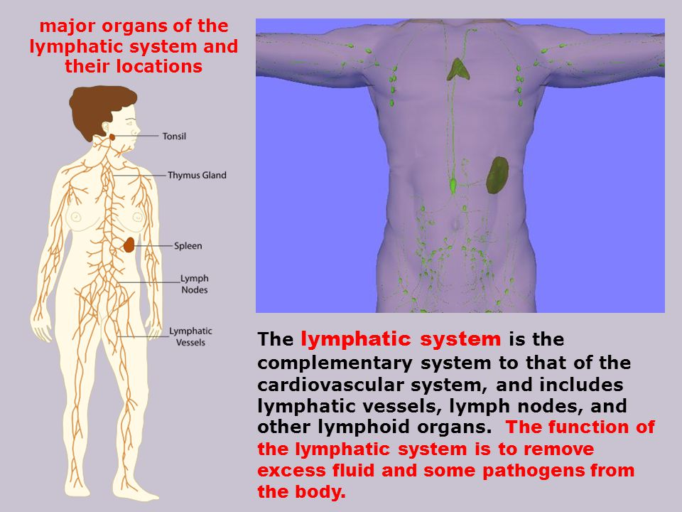 major organs of the lymphatic system and their locations