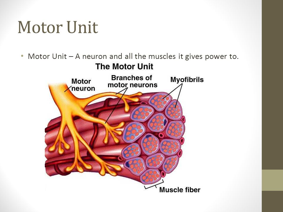 Motor Unit Motor Unit – A neuron and all the muscles it gives power to.