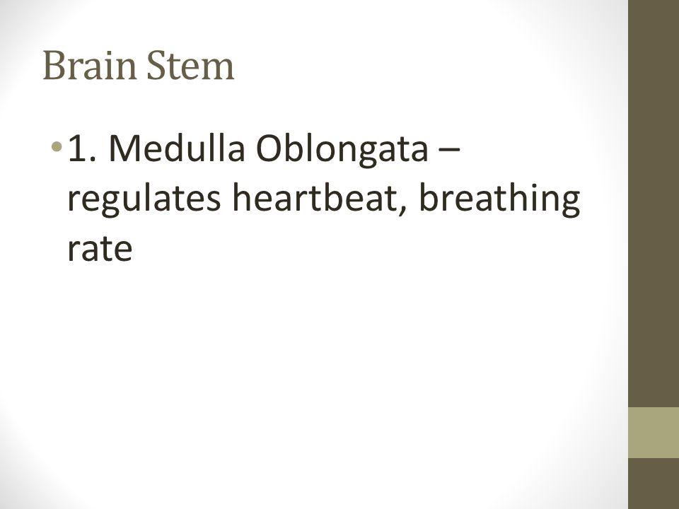 Brain Stem 1. Medulla Oblongata – regulates heartbeat, breathing rate