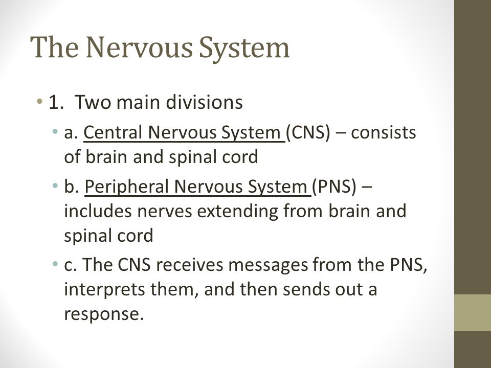 The Nervous System 1. Two main divisions
