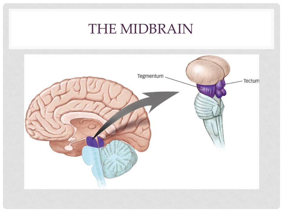 The MIdbrain
