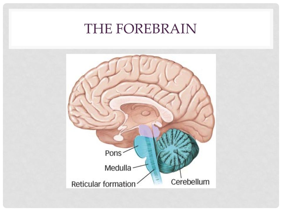 The forebrain