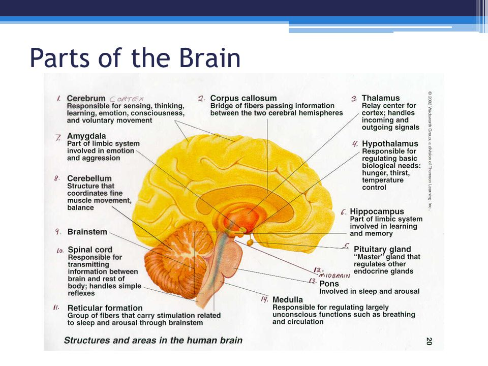 Parts of the Brain; Function