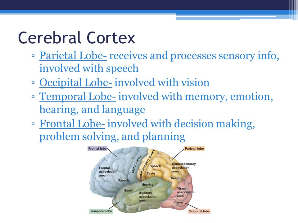 Cerebral Cortex Parietal Lobe- receives and processes sensory info, involved with speech. Occipital Lobe- involved with vision.