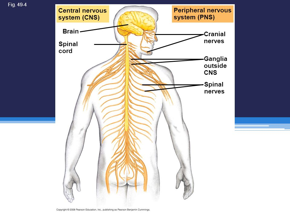 Central nervous system (CNS) Peripheral nervous system (PNS) Brain