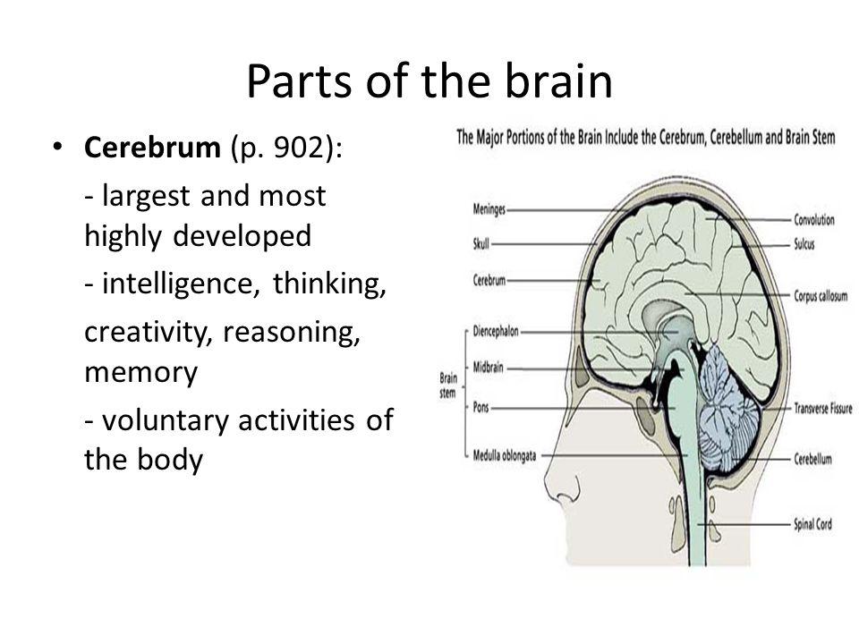 Parts of the brain Cerebrum (p. 902):