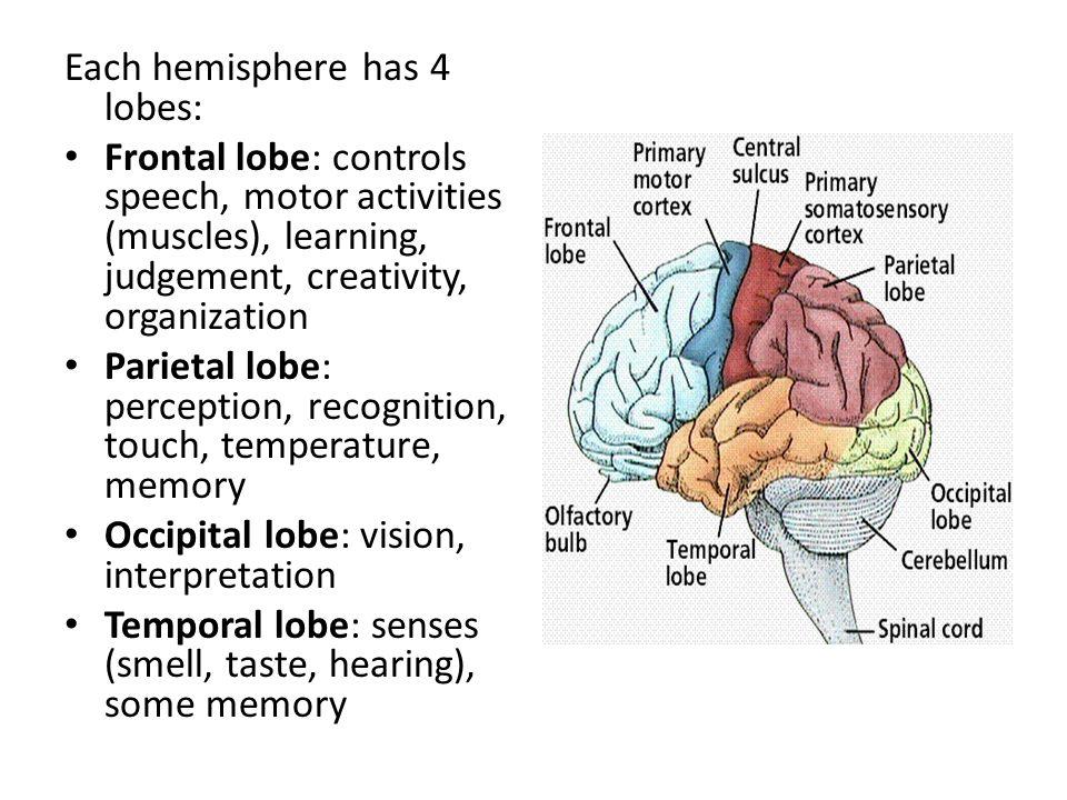 Each hemisphere has 4 lobes: