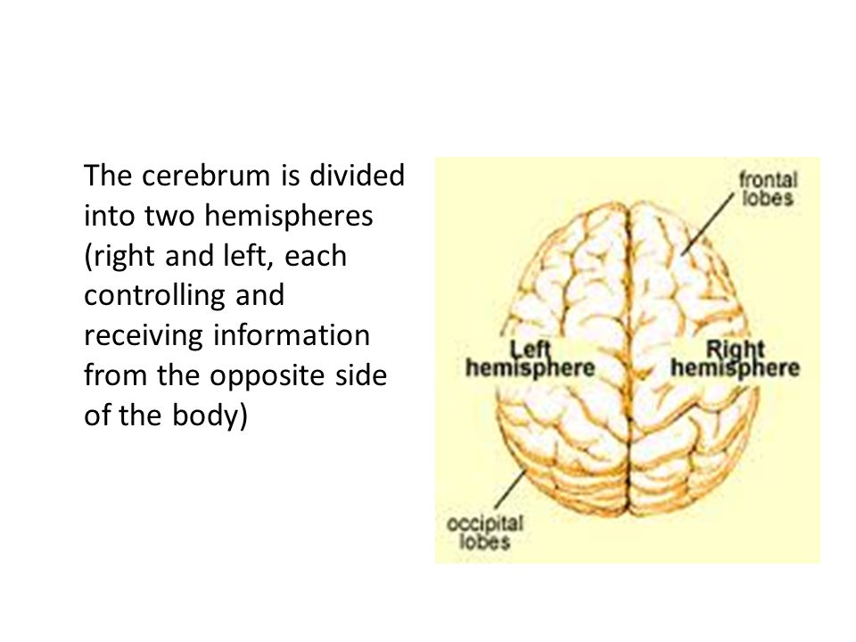 The cerebrum is divided into two hemispheres (right and left, each controlling and receiving information from the opposite side of the body)