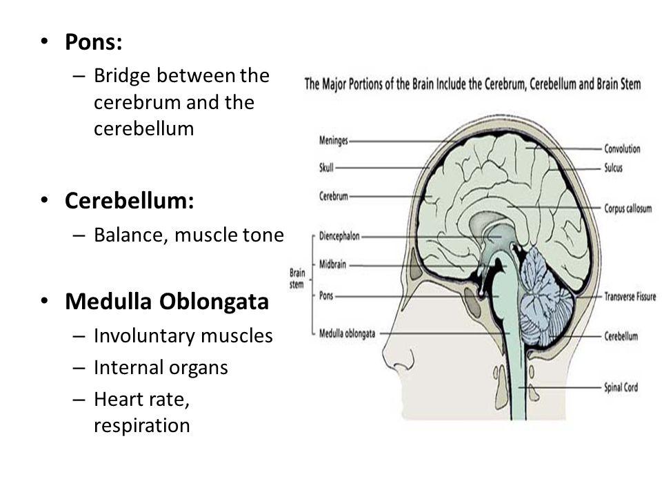 Pons: Cerebellum: Medulla Oblongata