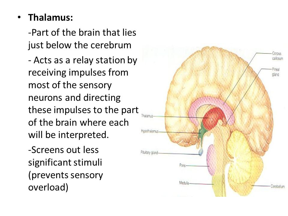 Thalamus: -Part of the brain that lies just below the cerebrum.