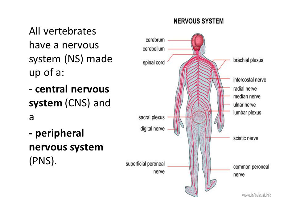 All vertebrates have a nervous system (NS) made up of a: - central nervous system (CNS) and a - peripheral nervous system (PNS).