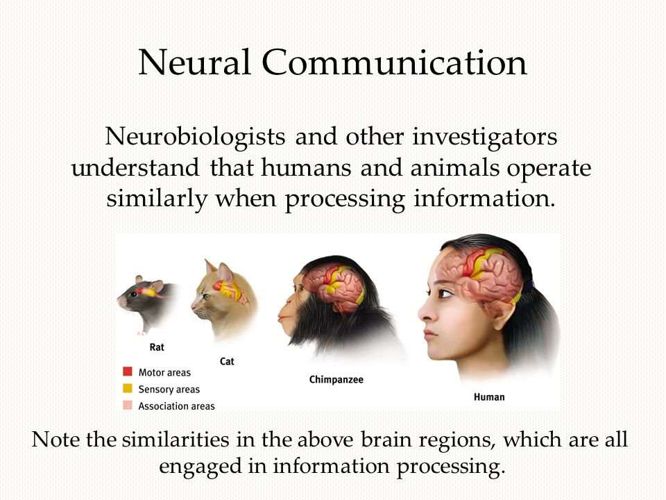 Neural Communication Neurobiologists and other investigators understand that humans and animals operate similarly when processing information.