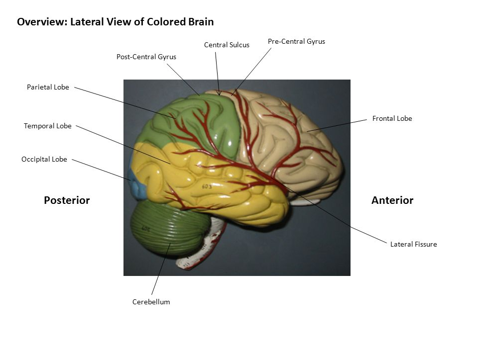 Overview: Lateral View of Colored Brain