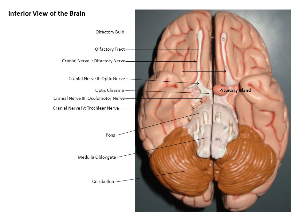 Inferior View of the Brain