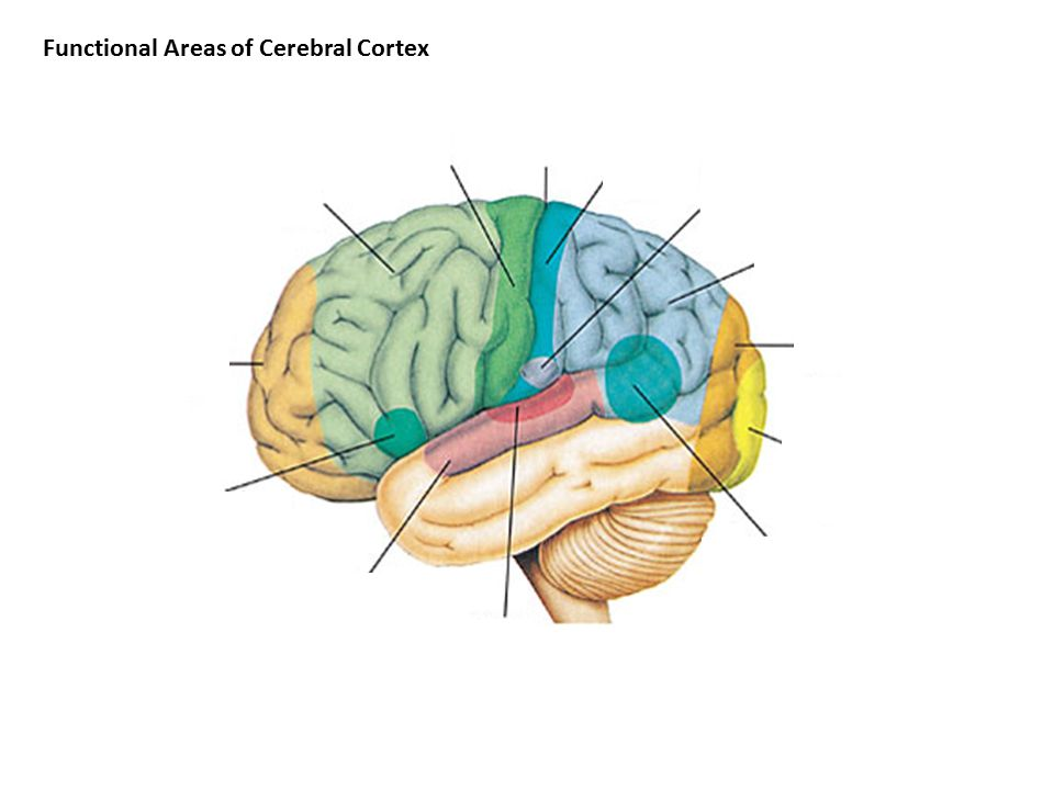 Functional Areas of Cerebral Cortex