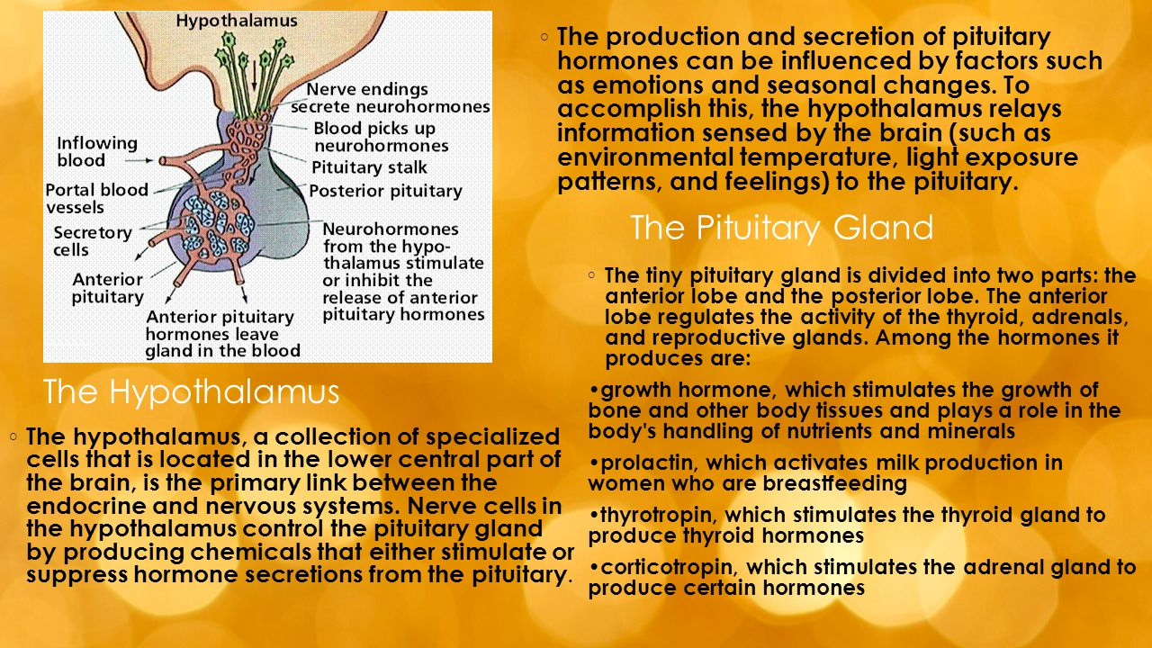 The Pituitary Gland The Hypothalamus