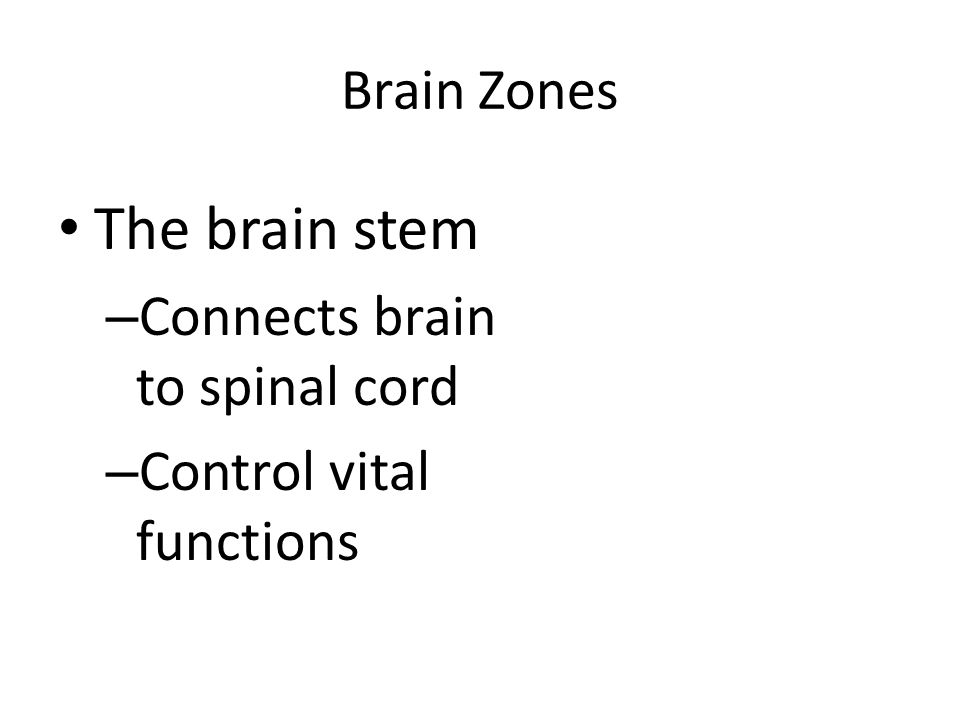 The brain stem Brain Zones Connects brain to spinal cord