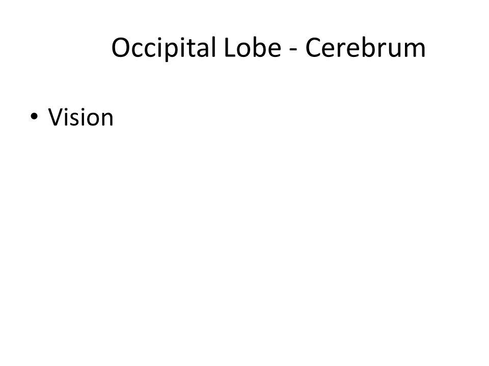 Occipital Lobe - Cerebrum