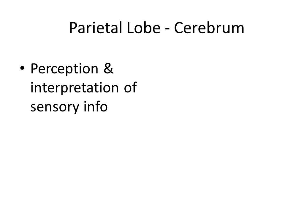 Parietal Lobe - Cerebrum